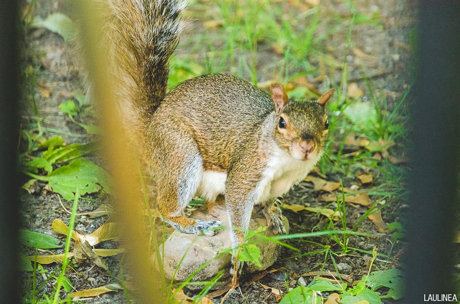 montréal, montreal, canada, écureuil