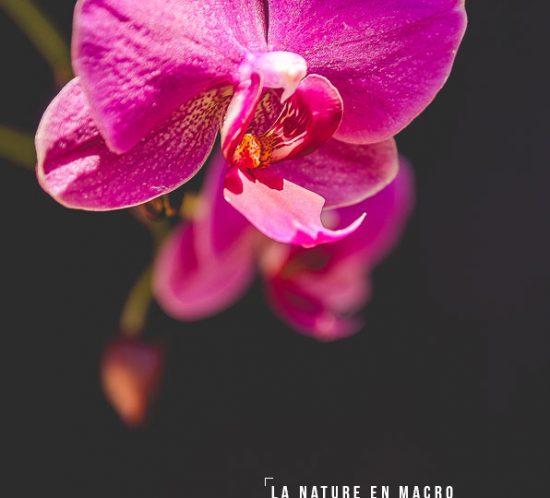 orchidée, fleur, rose, flower